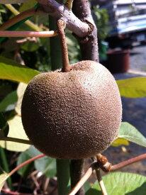【キウイ 苗木:黄色実】 センセーションアップル (メス)1年生 接ぎ木苗