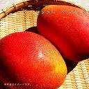 マンゴー アーウィン 接木大苗 沖縄県産 熱帯果樹