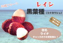 ■沖縄産■レイシ (ライチ) 【黒葉種 (コクヨウシュ) 】 取り木 7号ポット苗