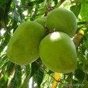 マンゴー キーツ 接木大苗 沖縄県産 熱帯果樹