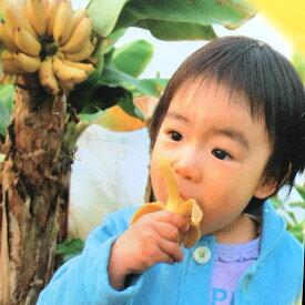 ■本数限定■【バナナ苗】ドワーフモンキーバナナ ポット苗 果樹苗木 熱帯果樹