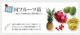 ■沖縄産■バナナ三尺バナナポット苗【予約販売】【2018年6月〜7月以降お届け予定