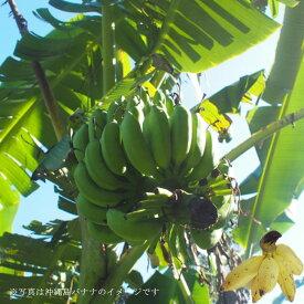 バナナの木 沖縄島バナナ ポット苗 沖縄県産 果樹苗木 熱帯果樹