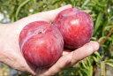 ■限定販売■ スモモ ジャンボスモモ 貴陽 2年生苗 ロングスリット鉢苗 果樹苗木 プラム すもも 果樹苗 鉢植え 木