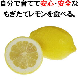 【レモン苗木】リスボンレモン2年生接ぎ木苗果樹苗木檸檬6号スリット鉢植え又は角鉢植え