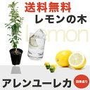 ■送料無料■ レモンの木アレンユーレカレモン2年生 接ぎ木 苗6号スリット鉢植え