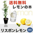 ■送料無料■ レモンの木リスボンレモン2年生 接ぎ木 苗 6号スリット鉢植え 果樹苗木 レモン