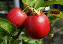 りんご 苗木 姫リンゴ YDアルプス乙女 1年生 接ぎ木 苗 果樹 果樹苗木