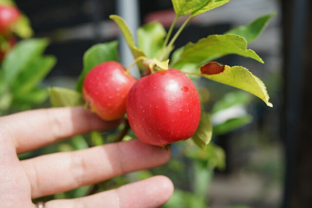 りんご 苗木 姫リンゴ アルプス乙女 1年生 接ぎ木 苗 果樹 果樹苗木 リンゴ