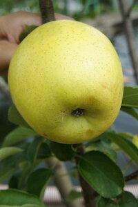 ■限定販売■ リンゴ YD選抜王林 2年生苗 ワイ性台木接ぎ木苗 スリット鉢植え