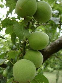 【 梅 苗木 :実梅 】 古城 1年生 接ぎ木苗 果樹