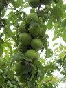 梅 苗木 小粒南高 1年生 接ぎ木 苗 果樹 果樹苗木
