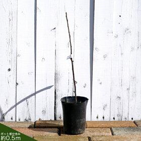 赤実フサスグリ苗木ロンドンマーケット1年生接ぎ木苗果樹果樹苗木