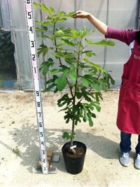 苗木の一例