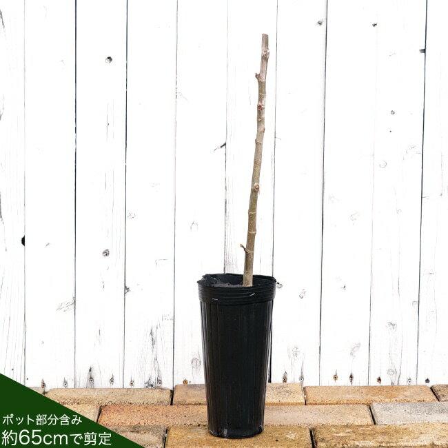 イチジク 苗木 ホワイトゼノア 1年生苗 果樹 果樹苗木