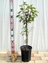 ■限定販売■ ゆすらうめ 赤実ユスラウメ 2年生 接ぎ木 ロングスリット鉢苗 果樹苗木 果樹苗 鉢植え 木