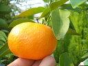 みかん 苗木 【 青島温州 】 温州みかん2年生 接ぎ木 果樹 果樹苗木 柑橘