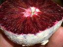 ■限定販売■ ブラッドオレンジ モロ 2年生接木 ルートポーチ植え苗 柑橘類 果樹苗 果樹苗木
