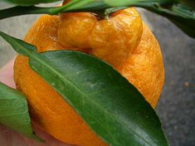 デコポン果実の様子