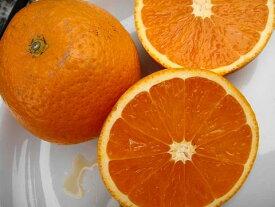 【みかん苗木】 清見オレンジ ( きよみおれんじ) 2年生接ぎ木苗 果樹苗木 柑橘