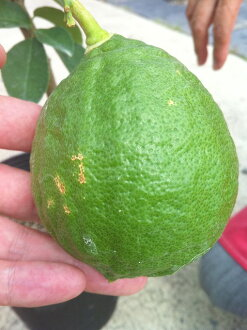 柠檬树珍宝柠檬 2 年学生嫁接苗果苗果苗柠檬柠檬