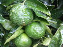 オレンジ 苗木 【 シークワーサー 】 2年生 接ぎ木苗 柑橘 果樹 果樹苗木