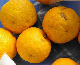 ゆず 苗木 【 多田錦 (ただにしき) 】 種無し柚子 2年生 接ぎ木 柑橘 果樹 果樹苗木