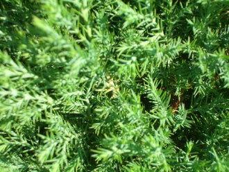 konifarozudarisu 5号暖水瓶苗园艺树木树篱眼罩