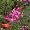 【ディケロステンマ ピンクダイヤモンド】 (5球植え/6号ポット)