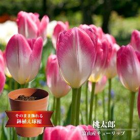 【桃太郎】 【富山産チューリップ (7球植え/フレグラーポット21型/ブラウン)