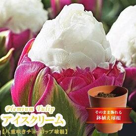 【アイスクリーム】 プレミアムチューリップ (3球植え/フレグラーポット21型/ブラウン)