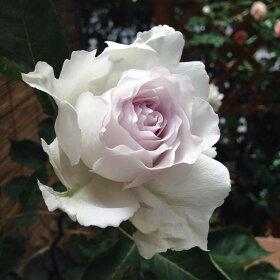 【バラ苗】ガブリエル大苗木立バラ【河本バラ園】四季咲き白色強香バラ苗薔薇バラ苗木