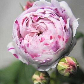 【バラ苗】 バリエガータディボローニャ (オールドローズ) 国産苗 1年生 新苗 【バラ苗】 薔薇