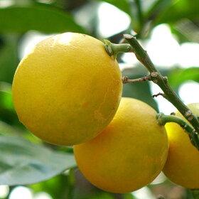 レモンの木【リスボンレモン】2年生接ぎ木苗木6号スリット鉢植え又は角鉢植え