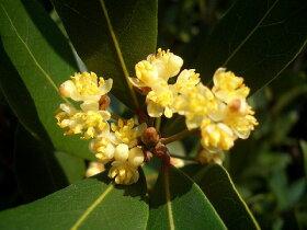 月桂樹の花(09年4月中旬に撮影)