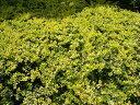 ゴールデンジェム5号ポット苗 グランドカバー 庭木 常緑樹