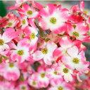 ハナミズキ 苗木 ジュニアミス ピンク 接木ポット苗 庭木 落葉樹 シンボルツリー 【観賞花木】