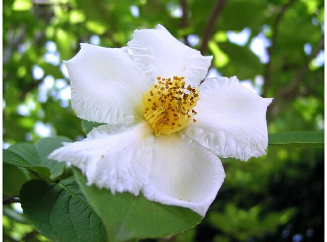 姫シャラ(ヒメシャラ) ポット苗 庭木 落葉樹 シンボルツリー