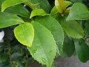 ヒサカキ (ビシャガキ)5号ポット苗 生垣 目隠し 庭木 常緑樹
