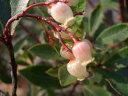 ヒメイチゴノキ ストロベリー