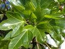 カクレミノ5号ポット苗。 生垣 目隠し 庭木 常緑樹