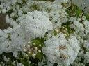 八重咲き コデマリ