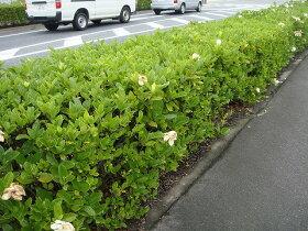 一重咲きクチナシ苗くちなし苗木生垣目隠し低木庭木常緑樹