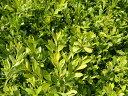 クサツゲ 苗木 グランドカバー 低木 庭木 常緑樹