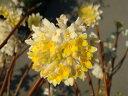 黄花ミツマタ(三又) 根巻き苗 庭木 落葉樹 低木