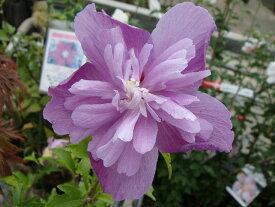 ムクゲ 【紫八重】 ポット苗