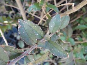 プリペット生垣用H:0.7m苗木庭木常緑樹生垣目隠し庭木常緑樹