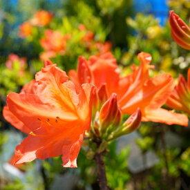 カバレンゲツツジ (紅花)根巻き苗 庭木 落葉樹 低木