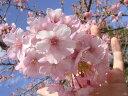 桜 苗木 さくら 河津桜 (かわづざくら) 1年生 接ぎ木 苗 庭木 落葉樹 シンボルツリーサクラ