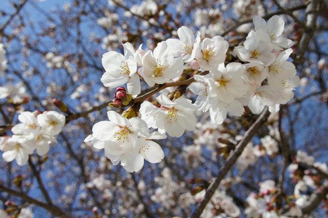 桜 苗木 さくら 染井吉野(ソメイヨシノ)1年生 接ぎ木 苗。 庭木 落葉樹 シンボルツリーサクラ